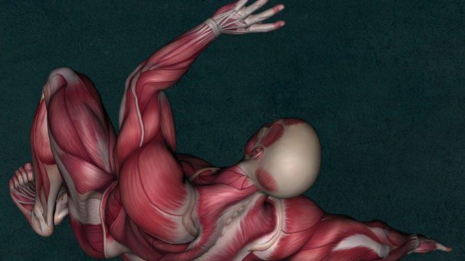 Skelettmuskulatur Skelettmuskel