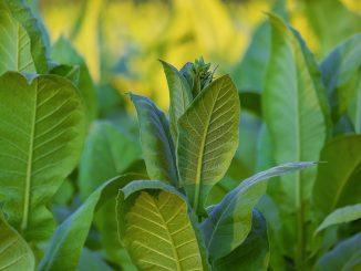 Pflanzliche Impstoffe: Mit Tabak gegen den Coronavirus SARS-CoV-2